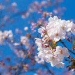 桜の季節ですね!4月のスケジュール更新